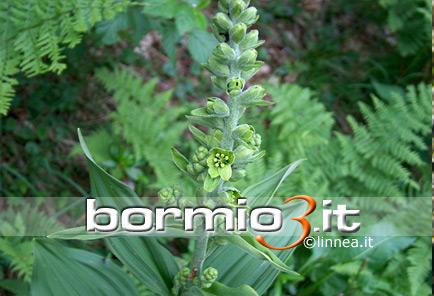 Veratro comune o elabro o elleboro bianco veratrum album for Elleboro bianco